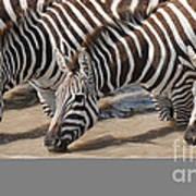 Common Zebras Drinking Water Art Print
