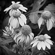 Coneflowers Echinacea Rudbeckia Bw Art Print