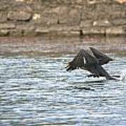 Cormorant Water Takeoff Art Print