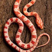 Corn Snake P. Guttatus On Tree Bark Art Print