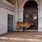 Cow At Church At Colva Art Print