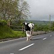 Cow Walks Along Country Road Art Print