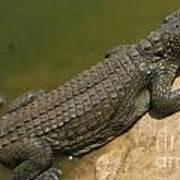 crocodile of the Nile Art Print