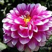 Dahlia Named Brian Ray Art Print