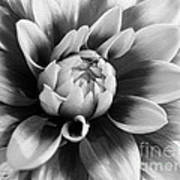 Dahlia Named Mystery Day Art Print