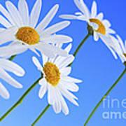 Daisy Flowers On Blue Background Art Print