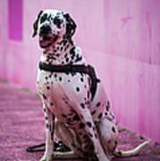 Dalmatian 6 Art Print