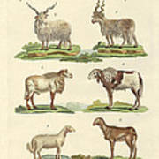 Different Kinds Of Sheep Art Print