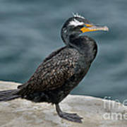 Double-crested Cormorant Art Print
