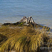 Driftwood In Beach Grass Art Print