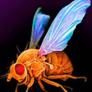 Drosophila Art Print