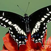 Eastern Black Swallowtail Butterfly Art Print