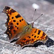 Eastern Comma Butterfly Art Print