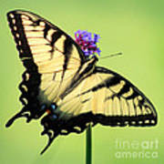 Eastern Tiger Swallowtail Butterfly Square Art Print