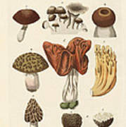 Eatable Mushrooms Art Print
