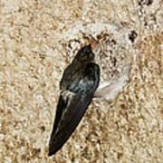 Edible-nest Swiftlet On Nest Art Print