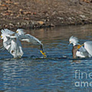 Egrets Robbing A Cormorant Art Print