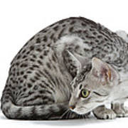 Egyptian Mau Cat Art Print