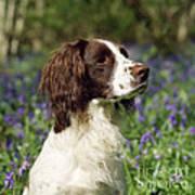 English Springer Spaniel Dog Art Print