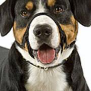 Entlebuch Mountain Dog Art Print