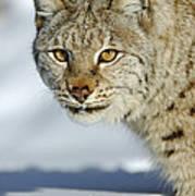 Eurasian Lynx In Snow Art Print