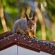 Eurasian Red Squirrel Art Print