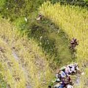 Farmers In Rice Field Art Print