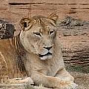 Female African Lion Art Print