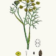 Fennel Plant Scientific Illustration Art Print