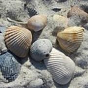 Fernandina Shells  Art Print