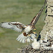 Ferruginous Hawk And Chicks Art Print