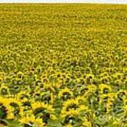 Field Of Blooming Yellow Sunflowers To Horizon Art Print