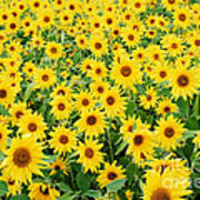 Field Of Sunflowers Helianthus Sp Art Print
