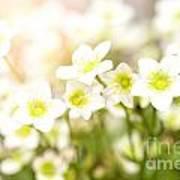 Field Of White Blossoms Art Print