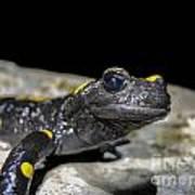 Fire Salamander Salamandra Salamandra Art Print