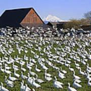 Flocks Of Snow Geese Art Print