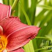 Flower Lily Background Art Print