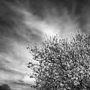 Flowering Almond Art Print