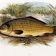Fresh Water Fish Art Print