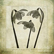Galanthus Nivalis Flore Pleno Art Print