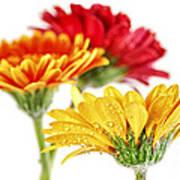 Gerbera Flowers Art Print