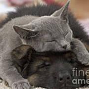 German Shepherd And Chartreux Kitten Art Print