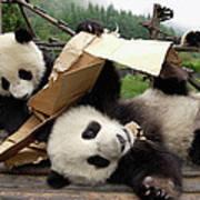 Giant Panda Ailuropoda Melanoleuca Pair Art Print