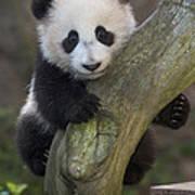 Giant Panda Cub In Tree Art Print