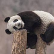 Giant Panda Cub Wolong National Nature Art Print