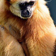 Gibbon Monkey  Art Print