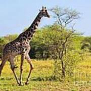Giraffe On Savanna. Safari In Serengeti Art Print