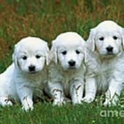 Golden Retriever Puppies Art Print