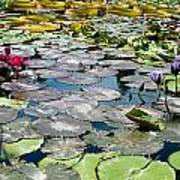 Gorgeous Water Lilies Art Print