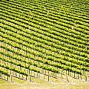 Grape Vines Art Print